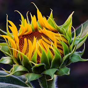 Sunflower Opening Sunflowers known as Helianthus  by James Morris - Flowers Flowers in the Wild ( helianthus, yellow flower, opening sunflower, sunflowers, sunflower,  )