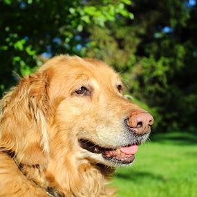 by Jennifer Smusz - Animals - Dogs Portraits ( #golden, #goldenretriever )