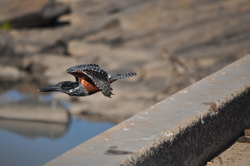 A giant kingfisher takes off from a bridge in the Kruger National Park.