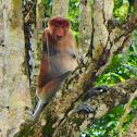 Proboscis monkey (male)