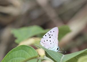 Photo: Lycaenidae sp