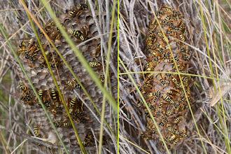 Photo: Fauna: Vesper de Polistes gallicus