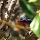 Mistletoebird (male)