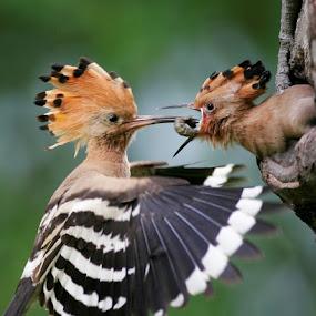 Huppé  by Eden Meyer - Animals Birds ( bird, nature, huppé, wildlife, baby,  )