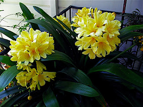 Photo: yellow clivia