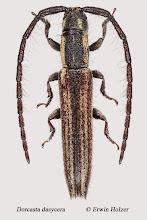 Photo: Dorcasta dasycera, 6,7 mm, Costa Rica, La Cruz (11°07´/-83°36´), leg. Erwin Holzer, det. Herbert Schmid