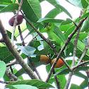 Greater Green Leafbird (female)