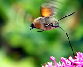 Photo: Bon Premier mai à tous ! Le Moro-sphinx ou papillon-colibri, en vol stationnaire au-dessus d'une centranthe rouge. 70 battements d'ailes seconde environ.