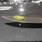 Spiny Oak Slug Moth (caterpillar)