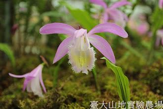 Photo: 拍攝地點: 梅峰-一葉蘭展示室 拍攝植物: 臺灣一葉蘭 楓漫 拍攝日期:2012_04_01_FY