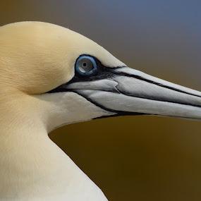 Gannet Portrait by Pat Somers - Animals Birds (  )