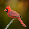 Redbird On A Stick.jpg