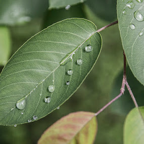 after rain by Lucija Janša - Nature Up Close Leaves & Grasses ( nature, green, drops, leaves, rain )