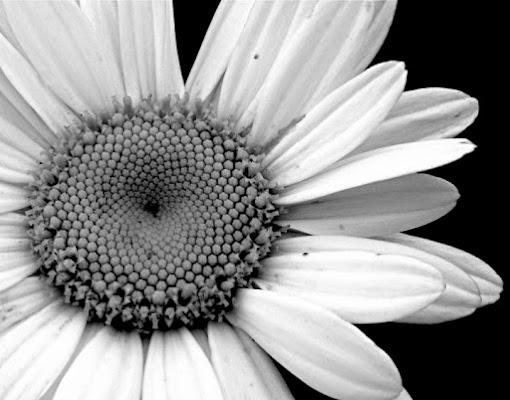 Daisy flower di Lisus
