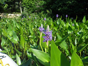 Photo: Position G. The common but ever-beautiful Pickerel Weed, Pontederia cordata