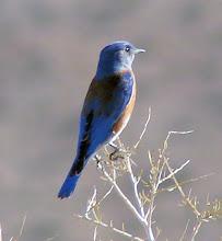 Photo: Western bluebird -- along the road towards Anza-Borrego State Park