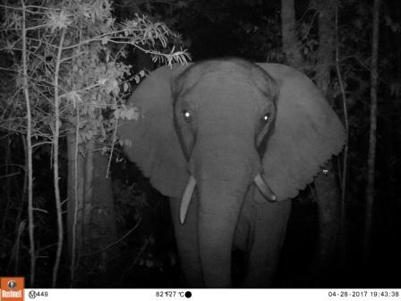 A night image of the last Knysna elephant. Picture: SANParks