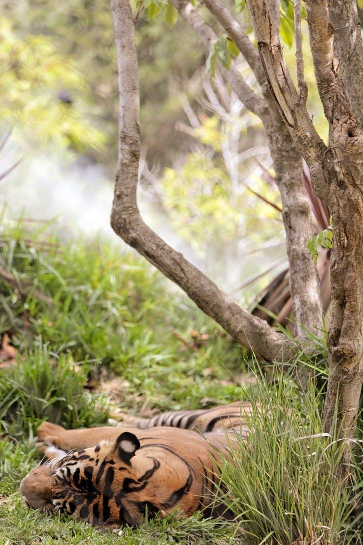 Sumatran Tigers San Diego Wild Animal Park.