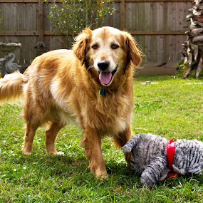 Baxter by Brook Kornegay - Animals - Dogs Playing ( playing, outdoors, dog, golden retriever,  )
