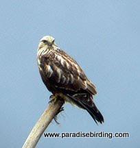 Photo: Rough-legged Hawk, Fir Island, Skagit Valley, Washington
