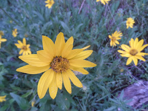 Photo: Yellow daisy