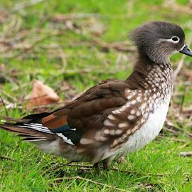 Female Mandarijeneend. by Anja Kroes - Animals Birds