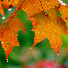 Autumn Leaves by Roxana McRoberts - Nature Up Close Leaves & Grasses ( pwcautumn-dq,  )