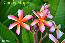 Photo: Candy Stripe