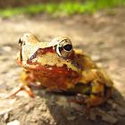Frog Calls icon