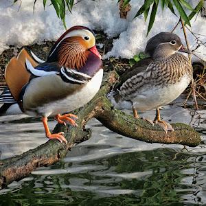 mandarinske patke 7.jpg