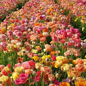 Color Explosion by Shirley Prothero - Uncategorized All Uncategorized ( peonies, flowers, fields, colors )