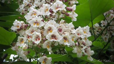 Photo: Arbore Trompeta  (Catalpa bignonioides) - de pe Str. Baladei - 2015.06.24 album http://ana-maria-catalina.blogspot.ro/2016/04/catalpa.html