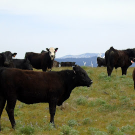OUT ON THE RANGE by Cynthia Dodd - Novices Only Wildlife ( sky, nature, cows, grass, animals )