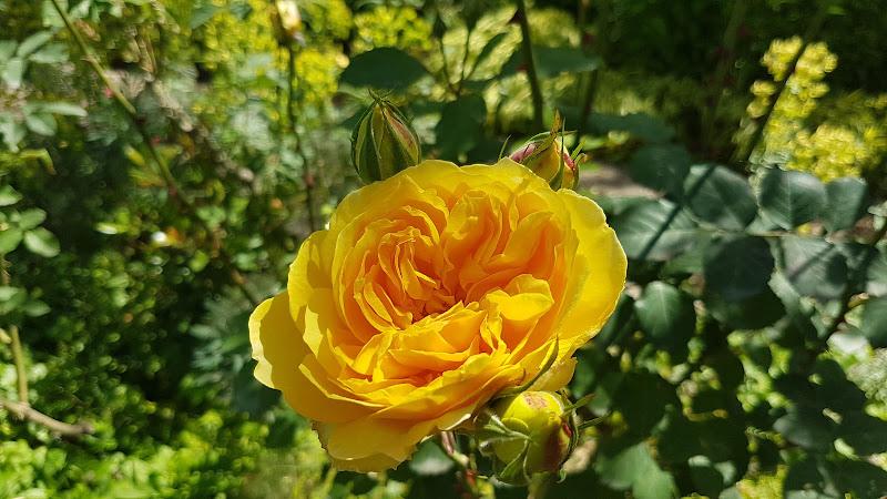 Rosa gialla di MAX1960