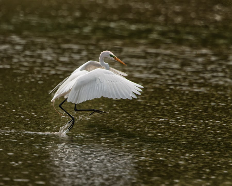 Walking on Water by Patrick Morgan - Animals Birds ( water, nature, white, wildlife, birds, egret )