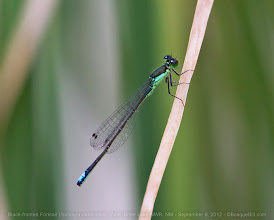 Photo: Today's photo from the Bitter Lake Dragonfly Festival last weekend is a Black-fronted Forktail damselfly - another tiny guy in an awkward  position to photograph. +BugsEveryday , a late +Buggy Friday  #odonata