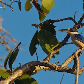 Forrest Kingfisher by Hennie Cilliers - Animals Birds