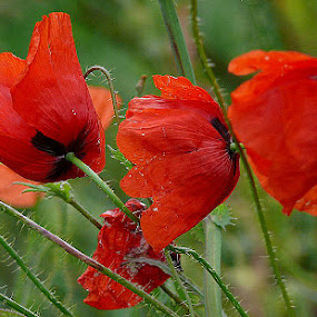 Poppies by Dunja Dretvić - Nature Up Close Flowers - 2011-2013 ( beautiful grass fresh multi view freshness scenics red poppy solitude petal outdoors nature close-up idyllic leaf beauty poppies colored green flower simplicity summer spring )