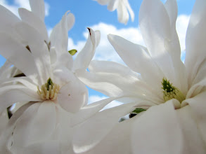 Photo: 2 white magnolias under a bright blue sky at Cox Arboretum in Dayton, Ohio.