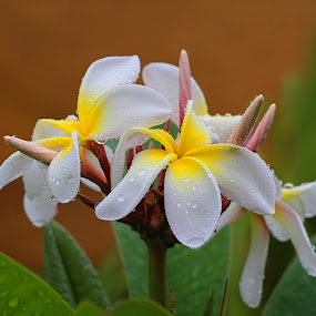 Frangipani's in the rain by Lee Newman - Flowers Tree Blossoms ( fragrant, fresh, wet, flowers, pretty,  )