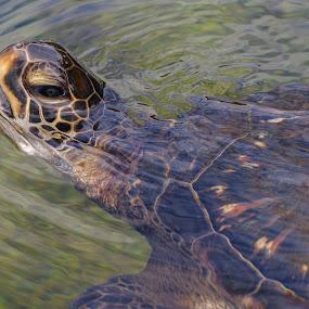 Got Lettuce? by Teri Garrison-Kinsman - Animals Amphibians ( sea creatures, turtle in water, sea creature, sea turtle, maui ocean center, turtles of the sea, amphibian, turtle, hawaii, hawaiian turtle, swimming turtle, green sea turle )