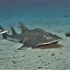 by Phil Bear - Animals Fish ( shark, reef, coral, ray, coral reef, guitarfish, maldives )