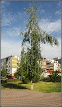 Photo: Mesteacăn (Betula) - din Parcul Teilor - 2017.07.15