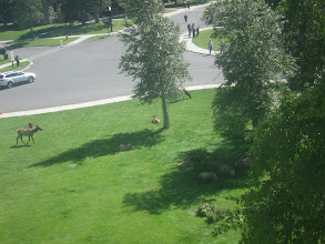 Photo: Elk on the lawn (from our hotel window)