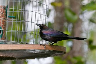 Photo: Grackle eying bird feeder - Corkscrew Swamp Sanctuary