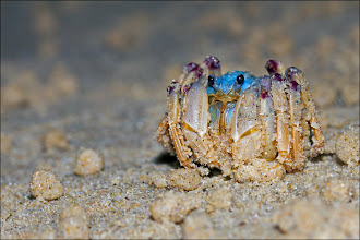 Photo: Soldier Crab Macro