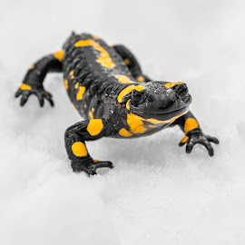 The fire salamander by Andrej Kozelj - Animals Other ( wild, animals, lizard, salamander, beautiful, white, wildlife, beauty, yellow, climbing, reptiles, winter, snow, reptile, natural, move, black, animal )
