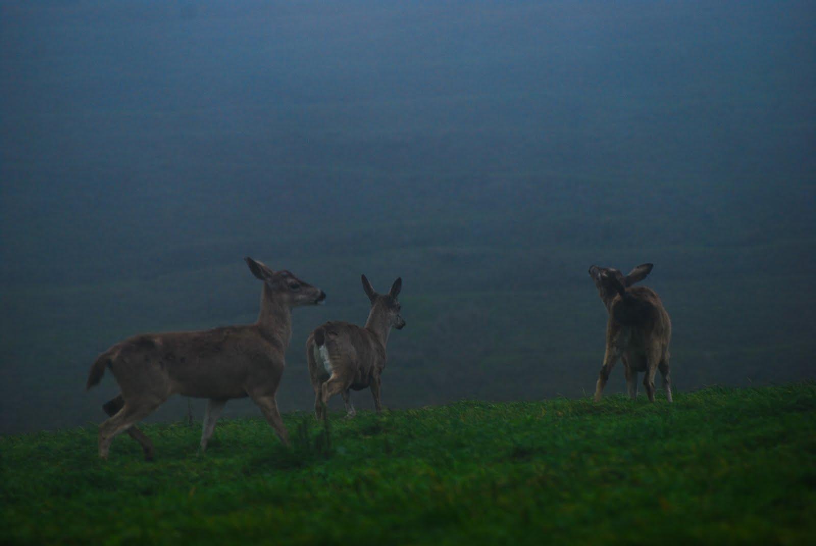 mule deer trio.jpg