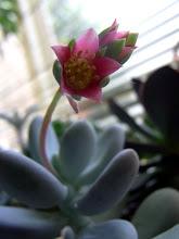 Photo: 月美人のお花