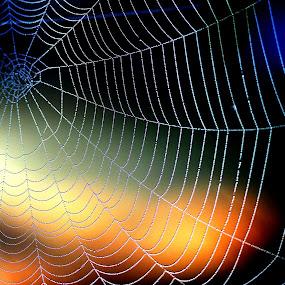 Web at sunrise by JoAnn Palmer - Nature Up Close Webs ( webs, sun rise, web, spider, sun, spider web,  )